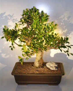 Ficus Retusa Bonsai Tree (ficus retusa)