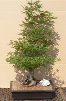 Japanese Green Maple Bonsai Tree (acer palmatum)